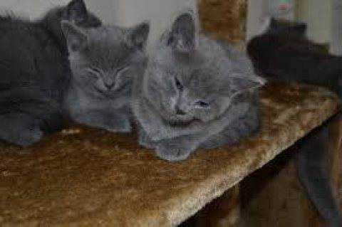 Beautiful Russian Blue Kittens for re-homing.
