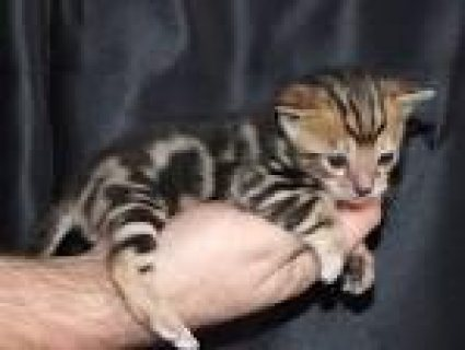 We offer Bengal Kittens from F1 to F4 -  We have available Savan