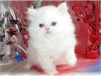 2 white persian cats available for sale