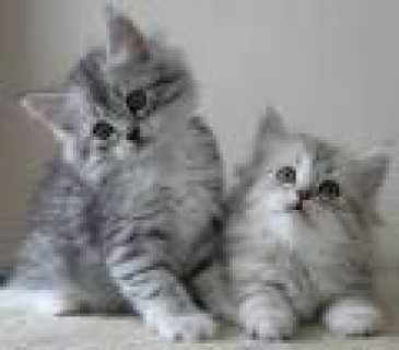 Cute siberian kitten for adoption     the kitten are very health