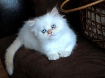 Gorgeous litter of Himalayan kittens available for you.