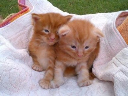 Beautiful full blooded  Maine Coon kittens.  2