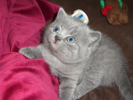 Four British short hair kittens for sale,contact us for more det