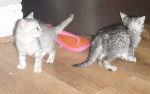 we have two Egyptian Mau