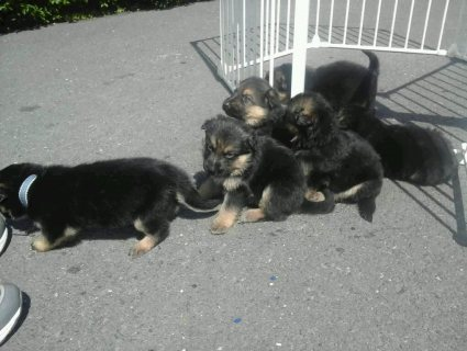 MALE AND FEMALE  LEFT GERMAN SHEPARD PUPS