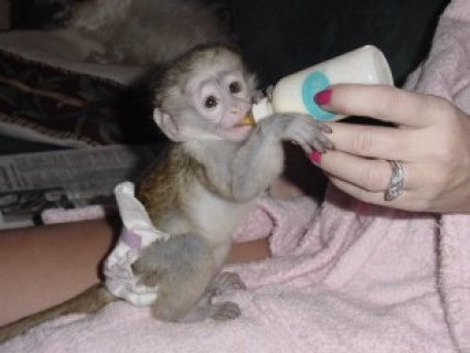 Adorable Male and Female Baby Capuchin Monkeys for Adoption