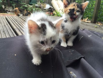 صور $beautiful kittens for sale 3