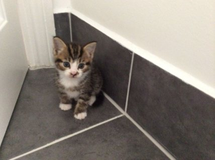 adorable tabby kittens for sale