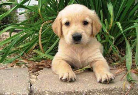 Golden Retriever puppies for adoption.