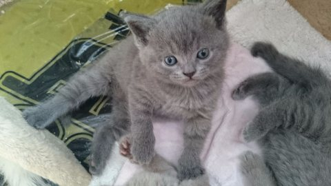 صور Beautiful male and female BSH Kittens ready to go  1