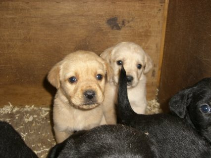 Labrador  Retreiver Puppies Available for Adoption