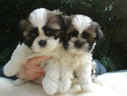 Adorable Cute Family Male and Female Shih Tzu puppies