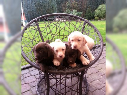 Labrador registered puppies raedy