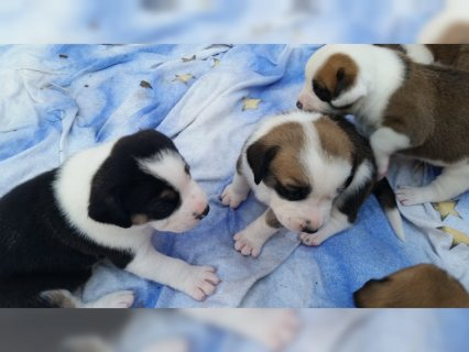 صور Labrador Boxer Puppies For adoption 1
