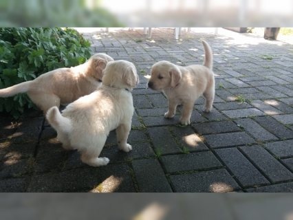 Golden Retriever puppies good for adoption