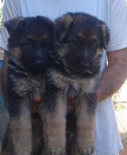 Cute German Puppies good for adoption