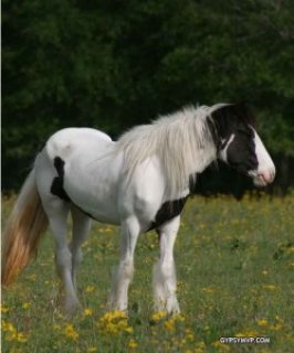صور Gypsy Vanner Horse For Sale/Adoption 1
