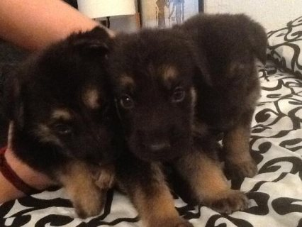 Charming  German shepherd  Puppies