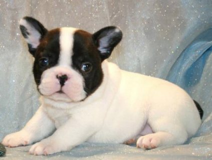 Excellent french bulldog  Puppies Available For Sale