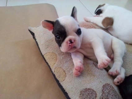 صور Super Adorable french  Bulldog Puppies 1