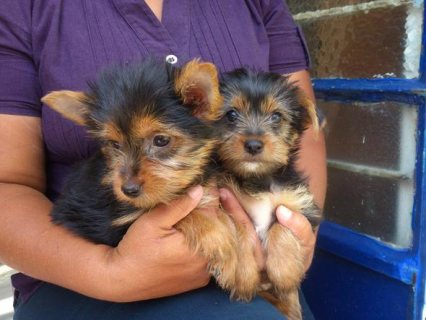 Yorkshire puppies looking for new home