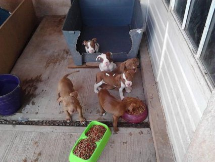 Excellent pit bull Puppies Available now