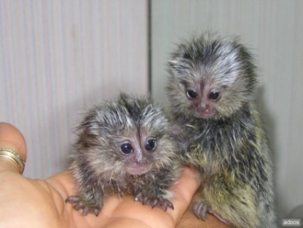 male and female marmoset monkey available