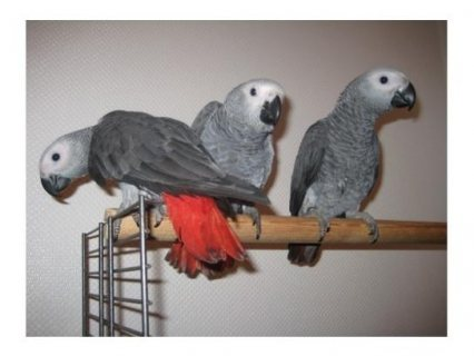 Two African gray parrots for adoption.