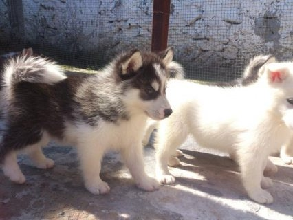 huskies siberians for sale