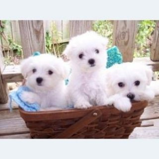Well trained Maltese puppies for adoption.