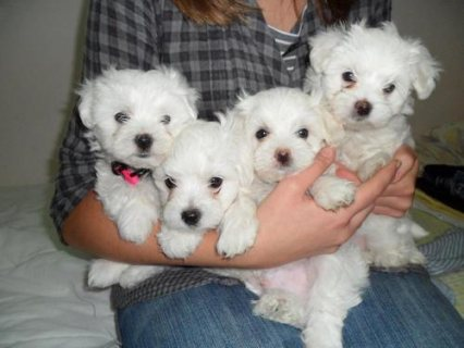 plaful Maltese puppies for adoption