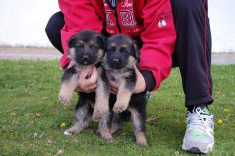 Gift 2 German shepherd breeding