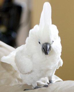Home raise cockatoo parrots available./.././