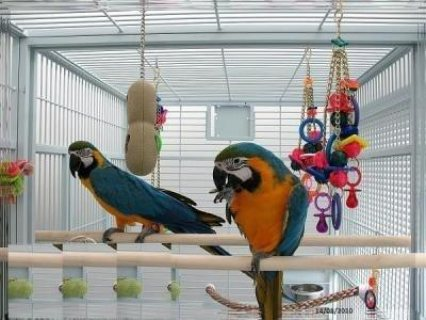 Macaw parrots for adoption now The Blue and Gold macaw is the mo