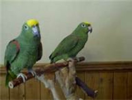 cute green parrots for adoption