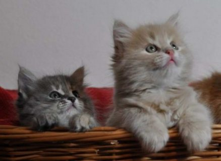 صور Two Siberian Kittens ready to go 1