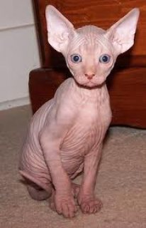 Cute male and female Sphynx Kittens for sale..