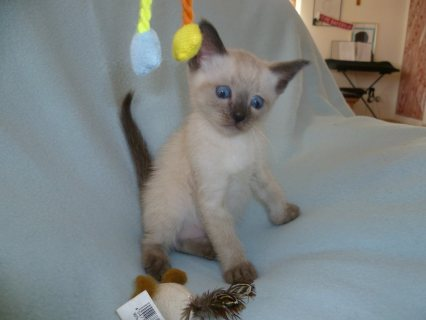 صور Adorable siamese Kittens Available/.././ 1