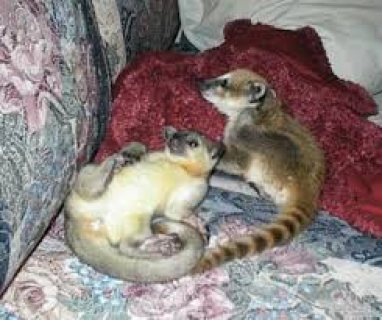 Cute And Adorable Baby Kinkajou For Sale.