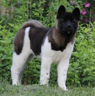 adorable Akita puppies for sale