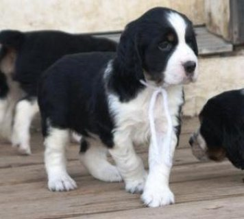 صور Male and female English Springer Spaniel puppies for sale. 1