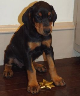 Doberman Pinscher puppies for Adoption .great