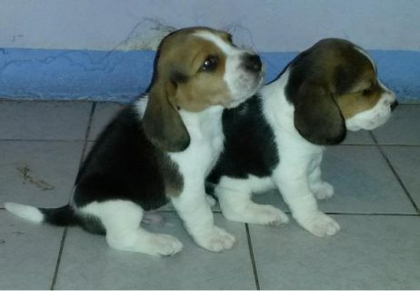 male and female beagle puppy