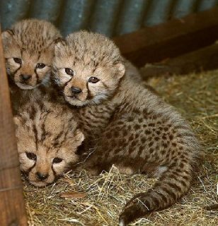 Tiger Cubs and playful precious gifts looking for a loving home