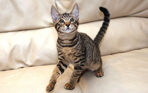 Lovely Savannah F6 kitten for adoption