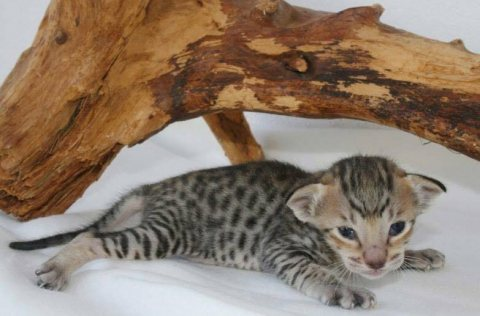 Adorable F2 savannah kittens for Adoption