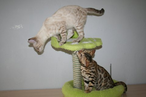 Cute  Bengal Kitten adoption