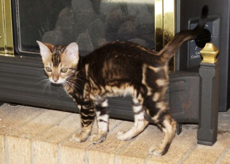 Sweet Bengal Kittens for Adoption