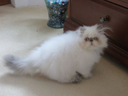 صور Beautiful Male And Female Himalayan kitten for Adoption 1