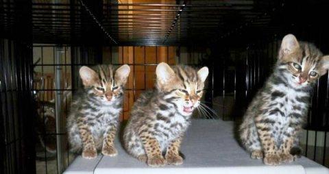 Adorable serval,savannah,lynx,leopard cub,caracal,ocelot,bengal,